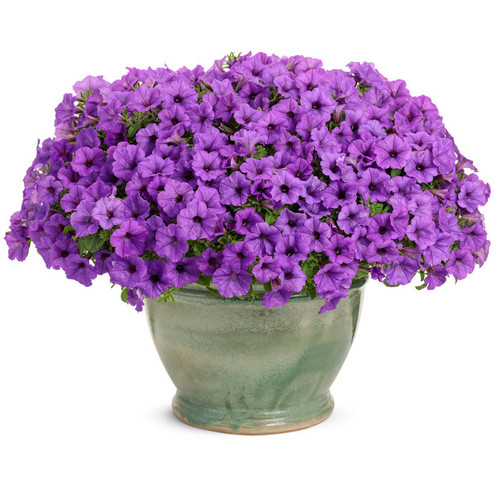 Supertunia Mini Vista Indigo Petunia in Planter