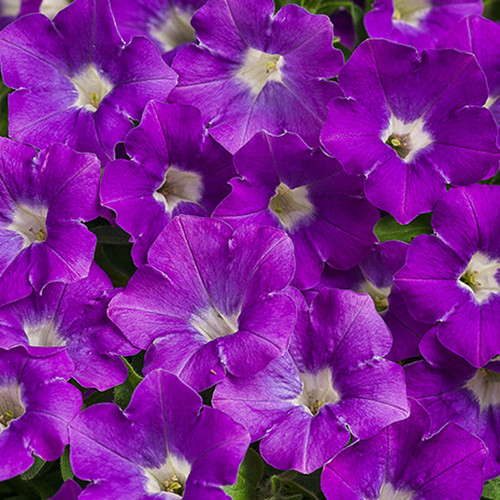 Supertunia Mini Vista® Morning Glory Petunia Flowers