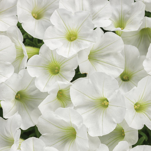 Supertunia Mini Vista White Petunia Flowers Close Up