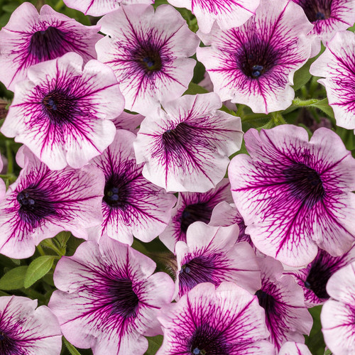 Supertunia® Mulberry Charm Petunia Flowers Close Up