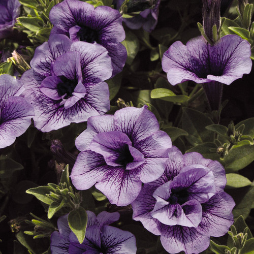 Supertunia® Priscilla® Petunia Foliage and Flowers