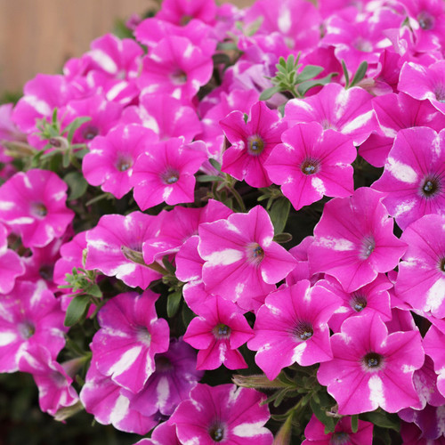 Supertunia Raspberry Rush Petunia Flowers and Foliage