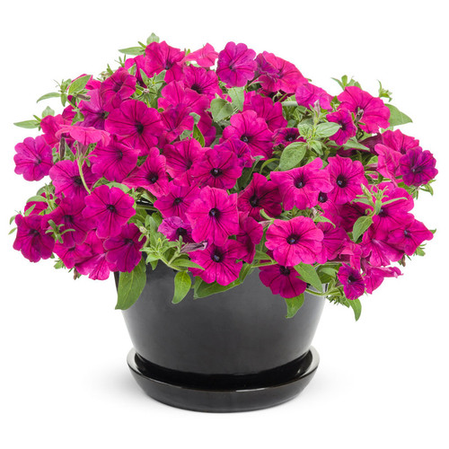 Supertunia Royal Magenta Petunia in Black Garden Planter