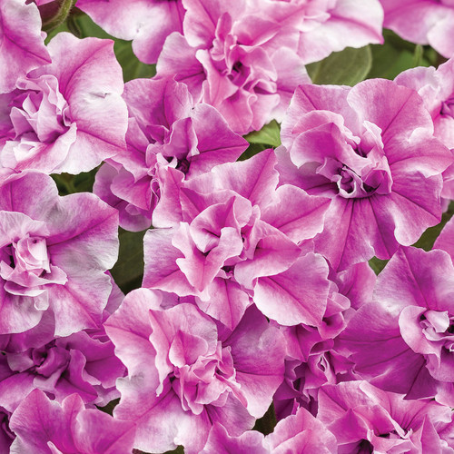 Supertunia® Sharon Double Petunia Double Petunia Flowers and Foliage