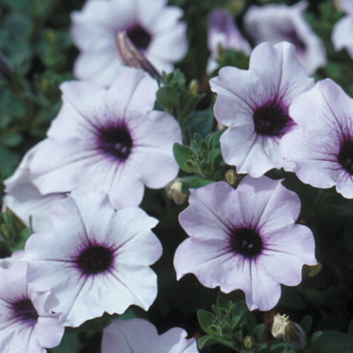 Supertunia Trailing Blue Veined Petunia Flowers Close Up