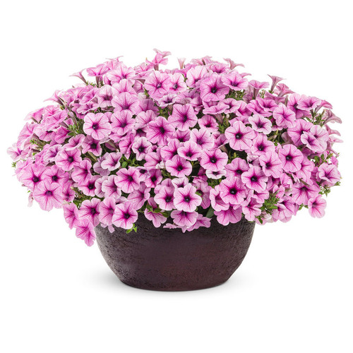Supertunia Trailing Rose Veined Petunia Flowering in Planter