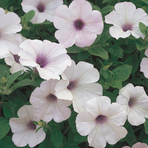 Supertunia® Trailing Silver Petunia Flowers and Foliage