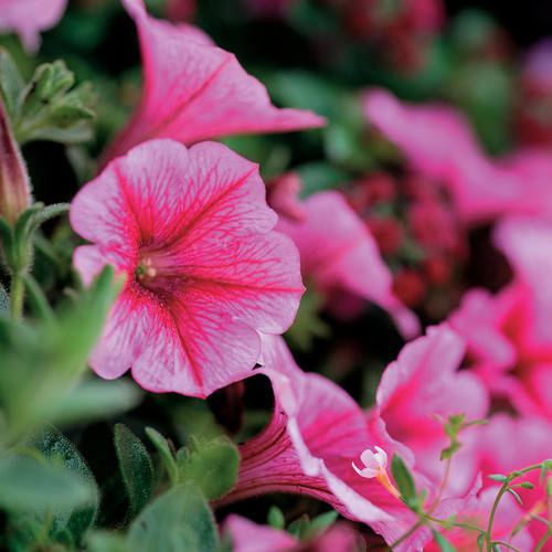 Supertunia® Trailing Strawberry Pink Veined Petunia Foliage and Flowers