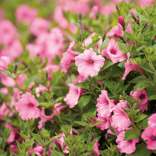 Supertunia Vista Bubblegum Petunia Flowers and Foliage