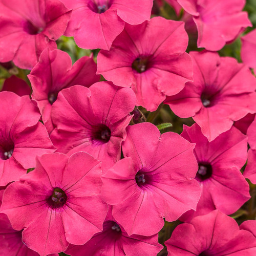 Supertunia Vista Fuchsia Petunia Flowers Close Up