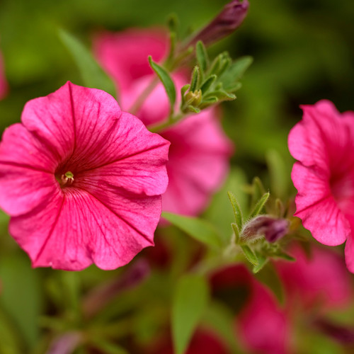Supertunia Vista Paradise Petunia Flowers and Flower Buds Close Up