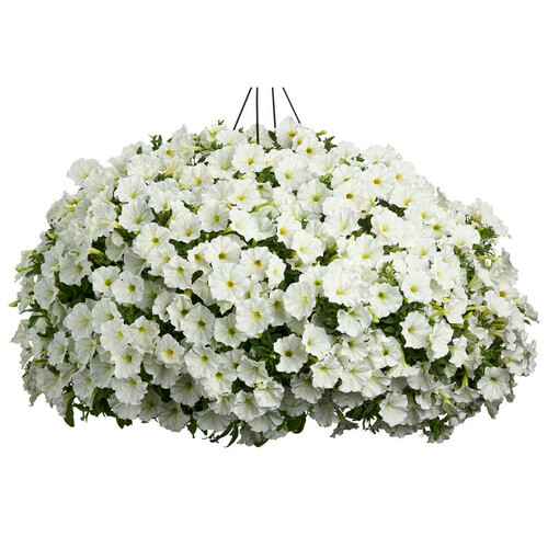 Supertunia White Petunia in Hanging Basket Covered in Blooms