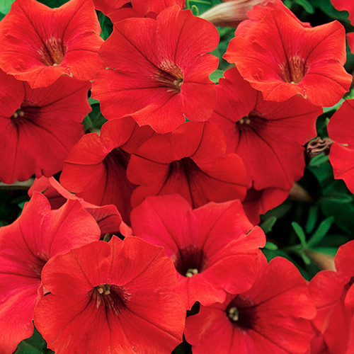 Surfinia® Deep Red Petunia Flowers Close Up