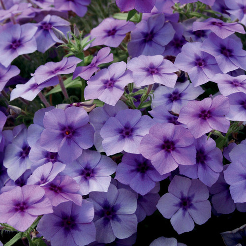 Intensia® Blueberry Phlox Flowers