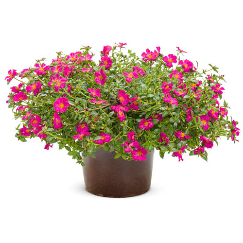 Large Mojave Fuchsia Purslane Plant in Garden Planter