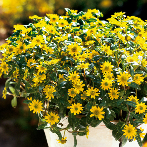 Sunbini® Creeping Zinnia Growing in the Sunlight