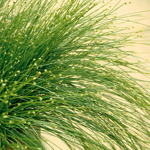 Graceful Grasses® Fiber Optic Grass Blades