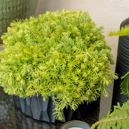 Lemon Coral Sedum in Indoor Planter