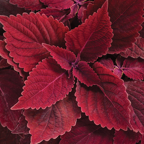ColorBlaze® Rediculous® Coleus Foliage