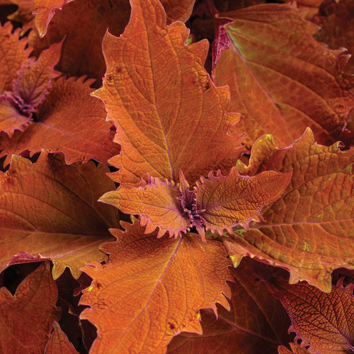 ColorBlaze® Wicked Hot® Coleus Foliage