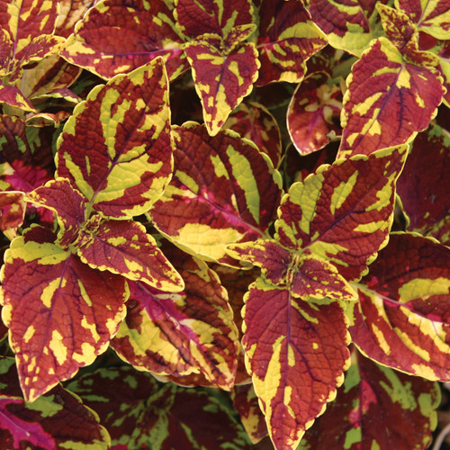 Splish Splash Coleus Foliage Close Up