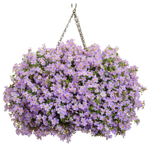 Snowstorm® Glacier Blue Bacopa in hanging Basket
