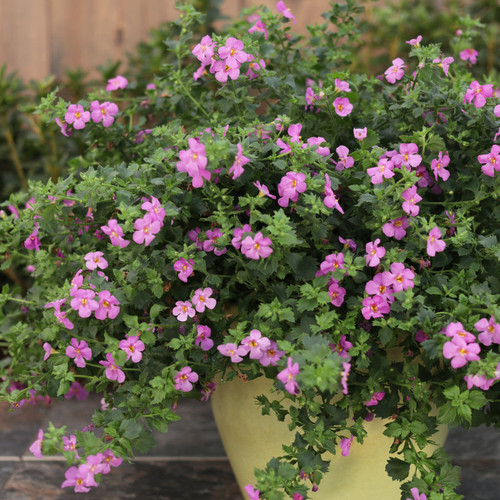 Snowstorm® Rose Bacopa in Patio Planter