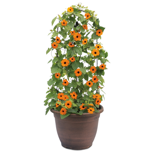 Orange A-Peel® Black-Eyed Susan Vine Growing up a Trellis