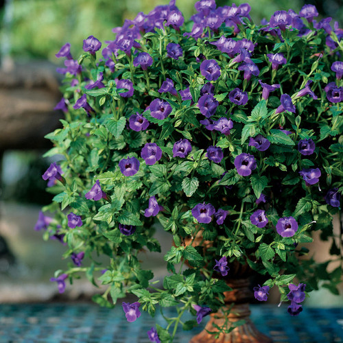 Summer Wave® Large Violet Wishbone Flower in Decorative Patio Tabletop Planter