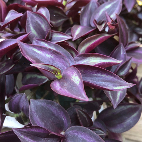 Purple Wandering Jew leaves