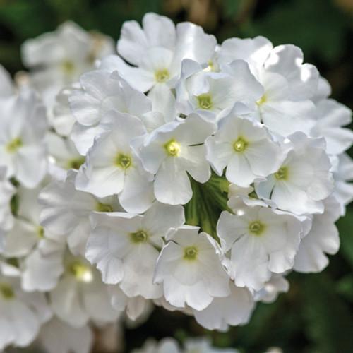 Lanai White Verbena blooms