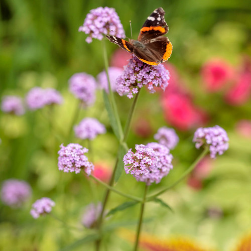 Meteor Shower Verbena with Butterfly