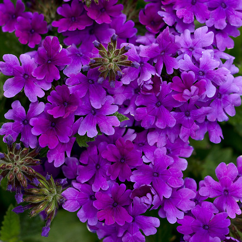 Superbena Dark Blue Verbena blooms
