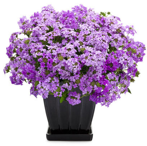 Superbena Large Lilac Blue Verbena in decorative pot (1)