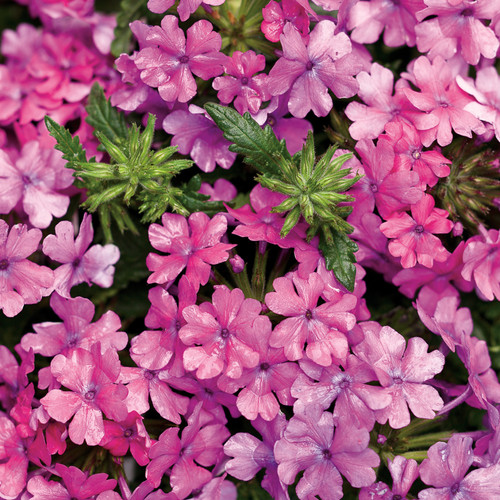 Superbena® Pink Shades Verbena Flowers Close Up