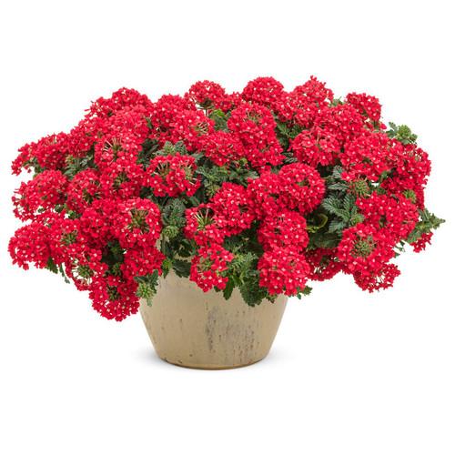 Superbena Scarlet Star Verbena in Garden Planter