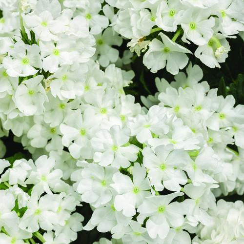 Superbena Whiteout Verbena Flowers Close Up