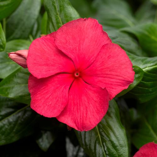 Cora Cascade Cherry Vinca flower closeup
