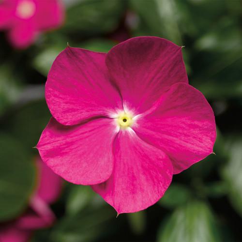 Cora Cascade Violet Vinca flower closeup