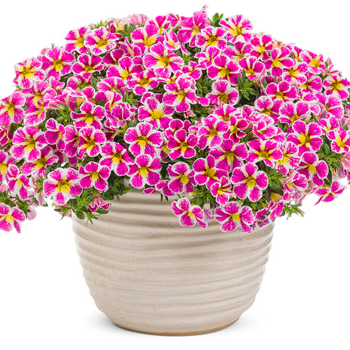 Superbells® Holy Cow!™ Calibrachoa blooming