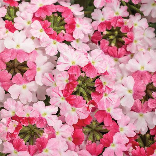 Superbena Sparkling Rosé Verbena blooms