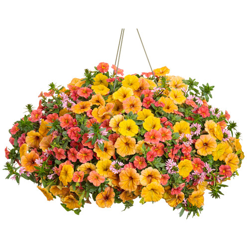 Beachside Drive Annual Combination in Hanging Basket
