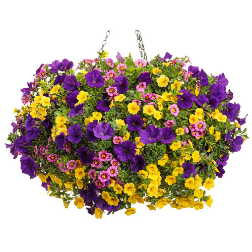 Bombshell Mixed Annual Combo in Hanging Basket