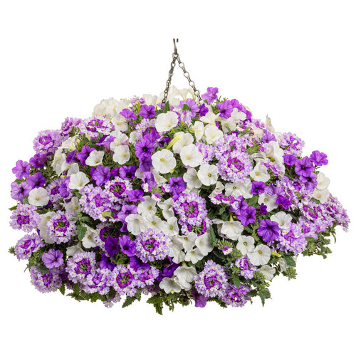 My Crush Mixed Annual Combination in Hanging Basket