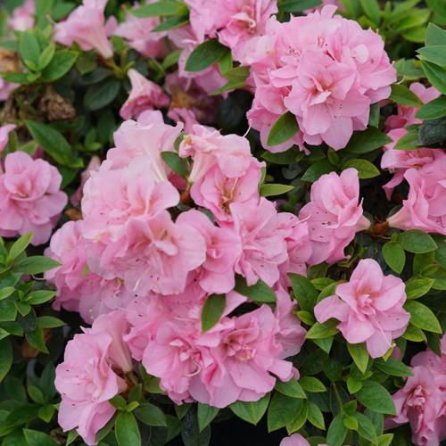 Perfecto_Mundo®_Double_Pink_Azalea_Flowers_and_foliage