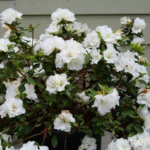 Perfecto Mundo® Double White Azalea Shrub Flowering