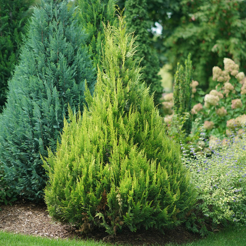 Pinpoint® Gold False Cypress Shrub in the Garden