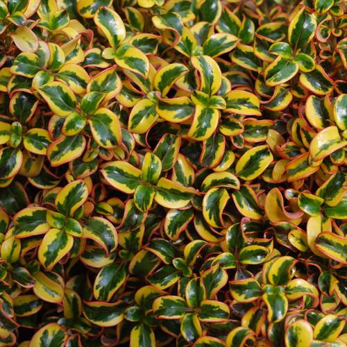 Waxwing Gold Mirror Bush Foliage Close Up