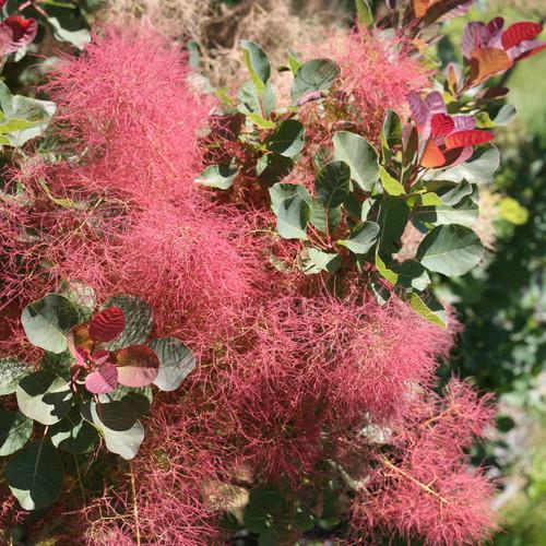 The Velvet Fog® Smokebush Flowers and Foliage