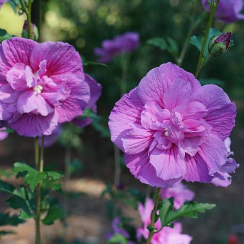 Dark Lavender Chiffon® Rose of Sharon flowers close up